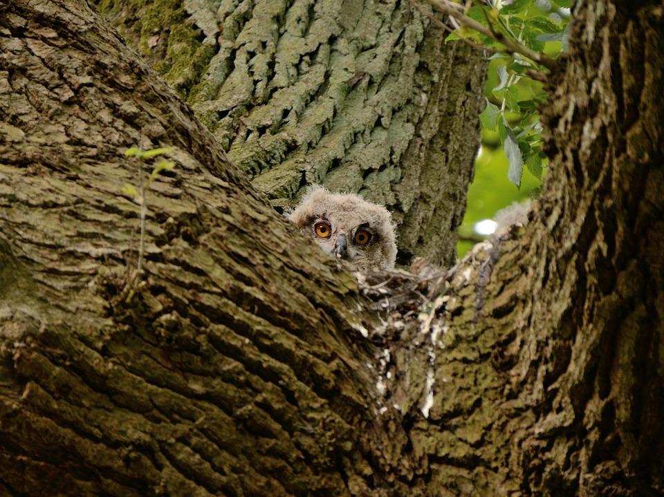 Jonge uil in nest
