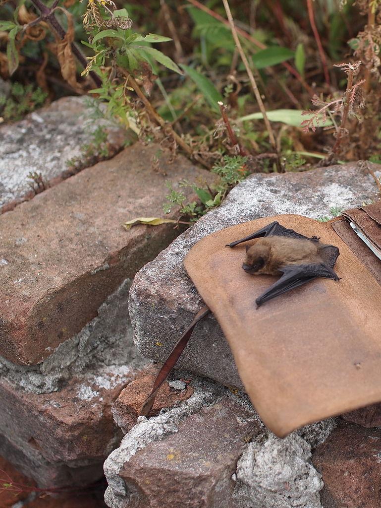 Jonge vleermuis in de tuin