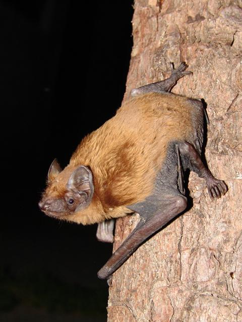 Rosse Vleermuis op een boomstam
