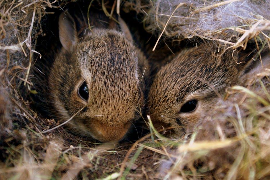Jonge konijnen