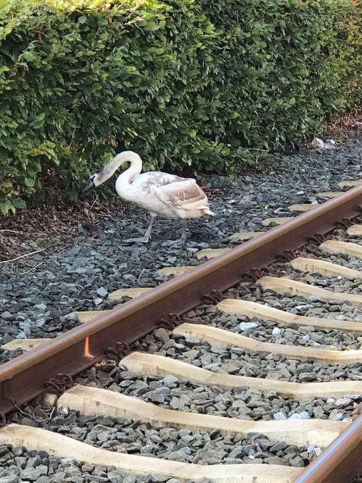 Zwaan op het spoor bij Leerdam