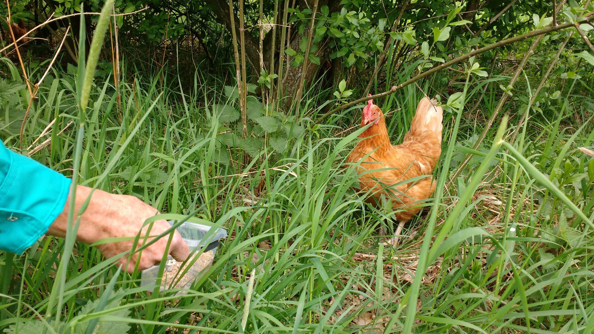 13 kippen vangen is niet gemakkelijk
