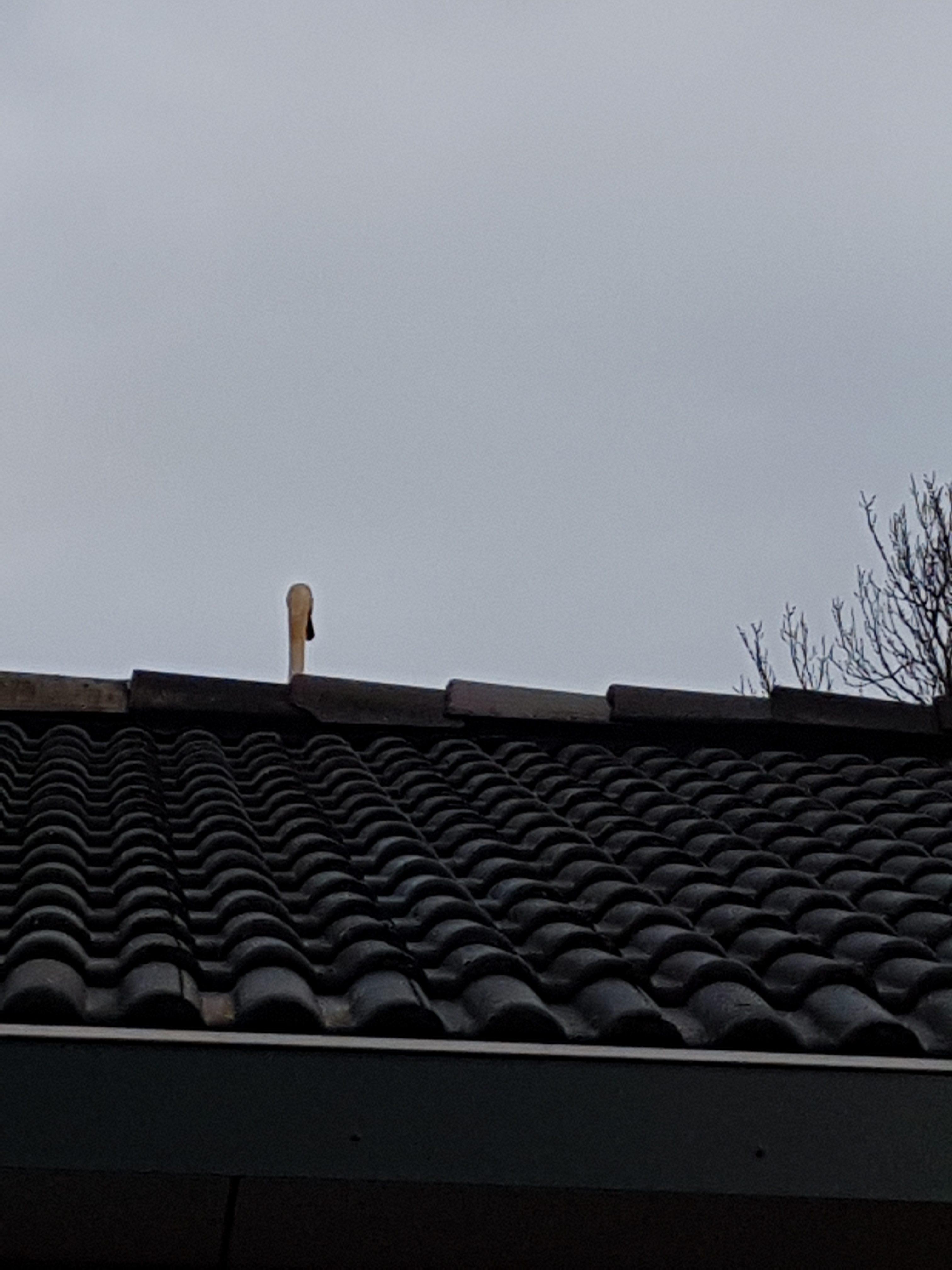 Een zwaan op het dak